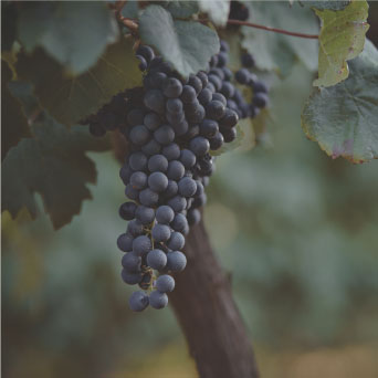 Petit verdot grape bunch